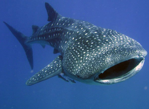 Swim with Whalesharks from Tulum
